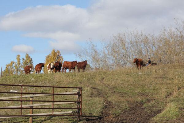 7k_angus_pasture_roundup
