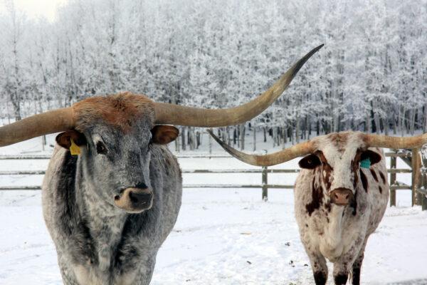 7k_longhorn_cattle_alberta_winter
