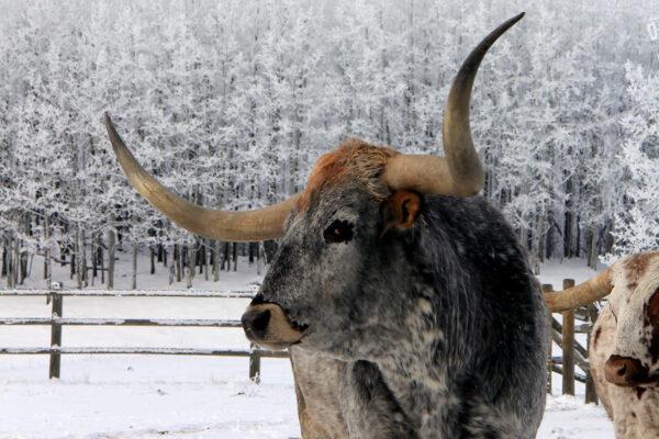 7k_longhorn_cattle_rocky_mountains