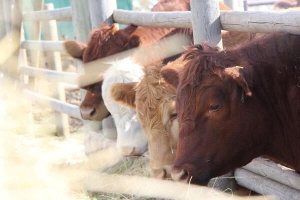 7k_ranch_angus_grass_feeding