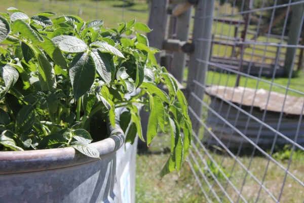 7k_ranch_garden_potatoes_stock_tank