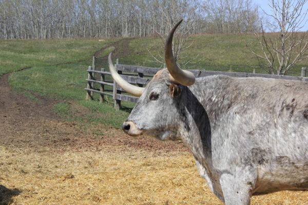 7k_ranch_longhorn_cortez