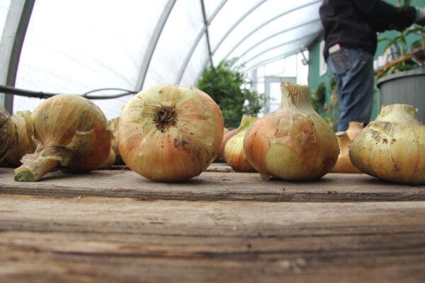 7k_root_cellar_cleaning_onions