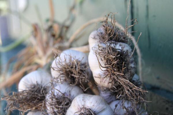 7k_root_cellar_garlic_heads_curing