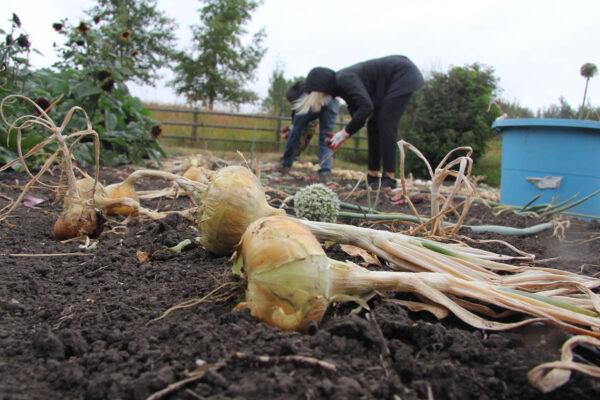 7k_root_cellar_harvesting_onions