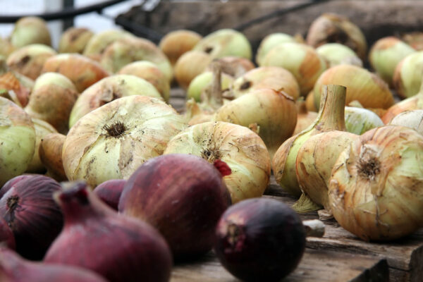 7k_root_cellar_onion_staging