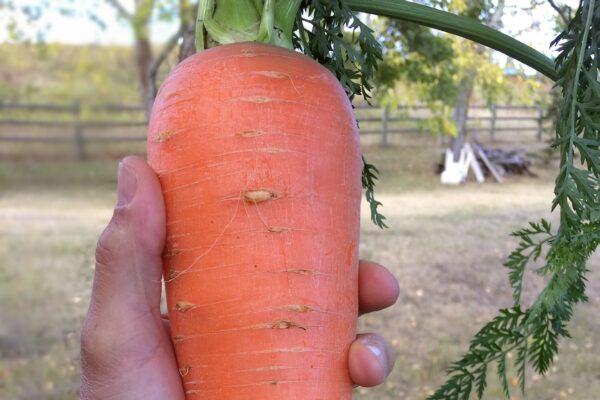 7k_ranch_heritage_carrots